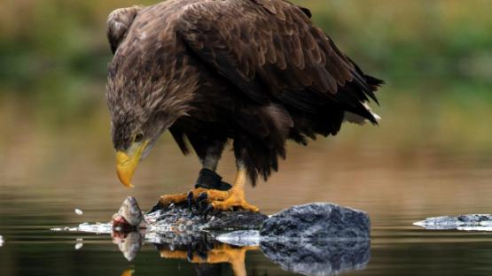eagle eating fish